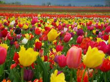 12 Tulip Bulbs-Spectacular Rainbow Mix- All colors (Pack of 12 Bulbs) Zones: 3-8