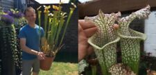 2019/GH/18 Sarracenia Carnivorous Plant Fresh Seeds UK Rare Cross