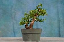 Excellent Escambron Pre-Bonsai Tree! Double Trunks! Wired and Styled!