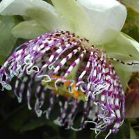 Rare Passiflora sidifolia! - Beautiful, fragrant blooms!
