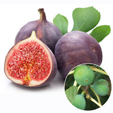 100pcs Figs Seeds Edible Fruit Tree Seeds Rare Red Figs Seeds Ficus Carica Seeds