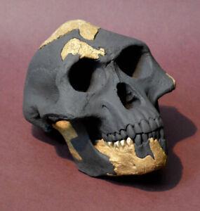 """Australopithecus Afarensis """"Lucy"""""""