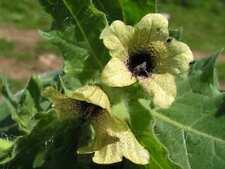 Hyoscyamus niger, black henbane, Nightshade, 10000 seeds