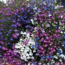 Lobelia Annual Biennial Flower Plant Seeds For Sale Ebay