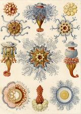 Antique Print-BIOLOGY-JELLYFISH-STATE-QUALLEN-Haeckel-1899