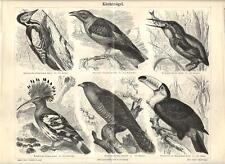 Stampa antica UCCELLI PICCHIO GHIANDAIA MARTIN PESCATORE 1890 Old antique print