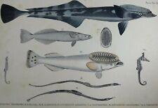 Fauna Japonica Pisces Gravure Hippocampe Sea-horse Remora 1842 Kawahara Keiga