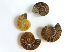 140 Cts Ammonite Spiral Cabochons