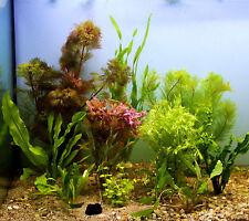 Aquariumpflanzen Set bis 100l = 10 Bunde + Lotusknolle Wasserpflanzen Tigerlotus