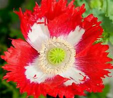Papaver Somniferum - 500 Seeds - Danebrog Poppy - Red and White Danish Flag