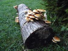 Honigschwammerl (Stockschwämmchen) selber züchten, einfache Pilzzucht auf Holz