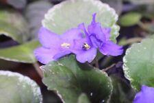 African violet Buckeye Blue Indigo pair of leaves