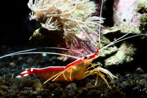 60+Skunk Shrimp / 2+Powre blue tang/1+Queen angle  Live Saltwater reef Aquarium!