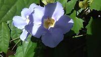 "15 Blue Sky Flower Vine Cuttings (Unrooted) Thunbergia grandiflora  12"" Foliage"