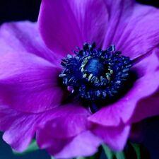 30 + Purple Anemone Flower Seeds / Perennial