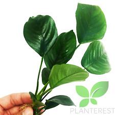 Anubias Barteri Broad Leaf Loose Live Aquarium Stem Plant Buy1 Get1 50% OFF