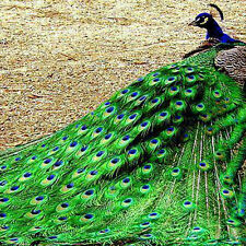 100pcs New Elegant Natural Peacock Tail Eyes Feathers 8-12 Inches/about 23-30cm