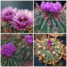 50 semi di Ferocactus latispinus ,piante grasse,seed cactus