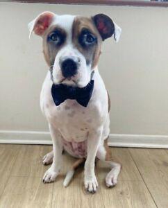 Black Purple Velvet Dog Pet BowTie Bow Tie - Ideal for wedding formal occasions