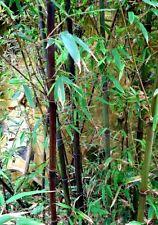 Bamboo Black Phyllostachys Nigra - Moso Black Seeds
