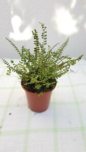 Asplenium Trichomanes, fern plant - Maidenhair Spleenwort - 9cm pot