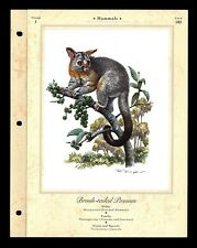 """Brush-Tailed Possum"" Illustrated Animal Library Art Print Info Card #183"