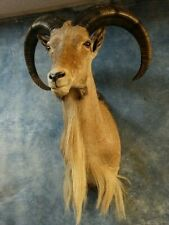 "Aoudad Ram ""Barbary Sheep"" Mount Horns Skull Taxidermy Goat Home Cabin Decor"