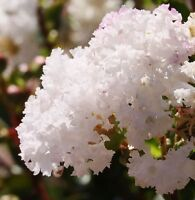 WHITE FLOWERING CREPE MYRTLE SEEDS LAGERSTROEMIA INDICA SHRUB SMALL TREE SEED