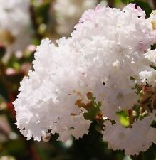 WHITE FLOWERING CREPE MYRTLE SEEDS LAGERSTROEMIA INDICA SHRUB BULK TREE SEED