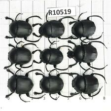 R10519 # Unmounted insect beetle Coleoptera Vietnam