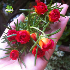 500 Mixed Color Moss Rose Purslane Double Flower Seeds (Portulaca grandiflora)