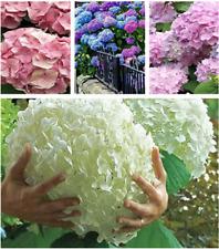 Rose large Hydrangea Bonsai Plants 90 Pcs Seeds Flower Easy To Grow Home Garden