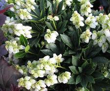 Lavendelheide Pieris japonica Debutante 20-25cm Frühlingsblüher