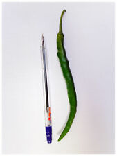**BULK DEAL** HOT INDIAN CHILLI from CEYLON 300 seeds SUPER HOT LONG CHILLIES