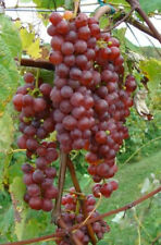 3 VANESSA RED Seedless Grape Vine Plants * 1-2 Year Organic Grown * VERY SWEET