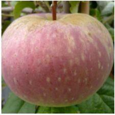 Aport russischer Apfelbaum zweijähriger Buschbaum 120-150 cm 10 Liter Topf M7