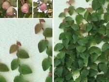 Kletterfeige immergrüne Kletterpflanze Hängepflanze herzförmige Blätter Ficus