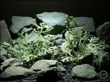 reptile terrarium plant | spike moss bush from ron beck designs. prp202