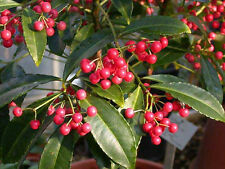 Coral Berry Seed (Ardisia crenata) Sub-Tropical or Indoor No Drought or Frost