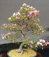 10 Japanese Cherry Blossom Bonsai Seeds - Flowering Sakura Bonsai Seeds