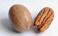 2 graines (noix) de PACANIER(Carya Illinoinensis)H142 HARDY PECAN SEEDS SEMILLAS