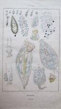 Gravure en couleur du XIXè s. Infusoires. De Sainson. Circa 1837