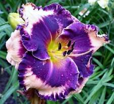 FACEPAINT Daylily SEEDS 2017 Perennial Flowers Ready to start Growing Now!
