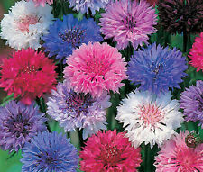 CORNFLOWER BACHELOR'S  BUTTON MIX DWARF Centaurea Cyanus - 5,000 Bulk Seeds