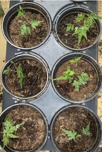 FOUR Japanese Maple Seedlings 2 to 3 inches Ornamental Tree Sango kaku Bonsai