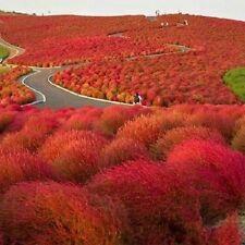 50+ Burning Bush Kochia Scoparia / Hardy-Drought Tolerant / Annual Flower Seeds