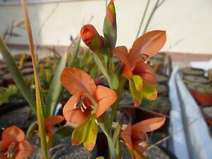 Gladiolus alatus, 3 flowering sized bulbs