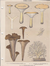 MUSHROOM PRINT. Edible Fungi Of New York. Circa 1900 ~Clitocybe & Craterellus~