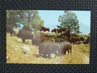BISON WISENT BUFFALO alte Ansichtskarte / old picture postcard c2340