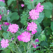RED CAMPION - SILENE DIOICA  - WILDFLOWER - 500 SEEDS - wild flower seed